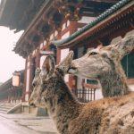 Pair of deer in Nara