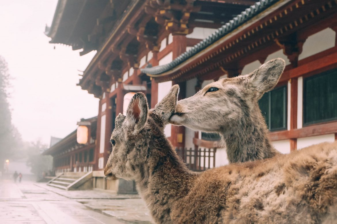Pair of deer in Nara