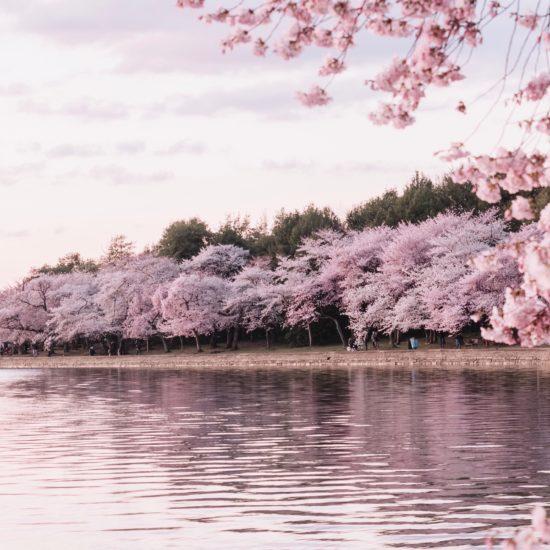 Cherry blossoms bordering a lake
