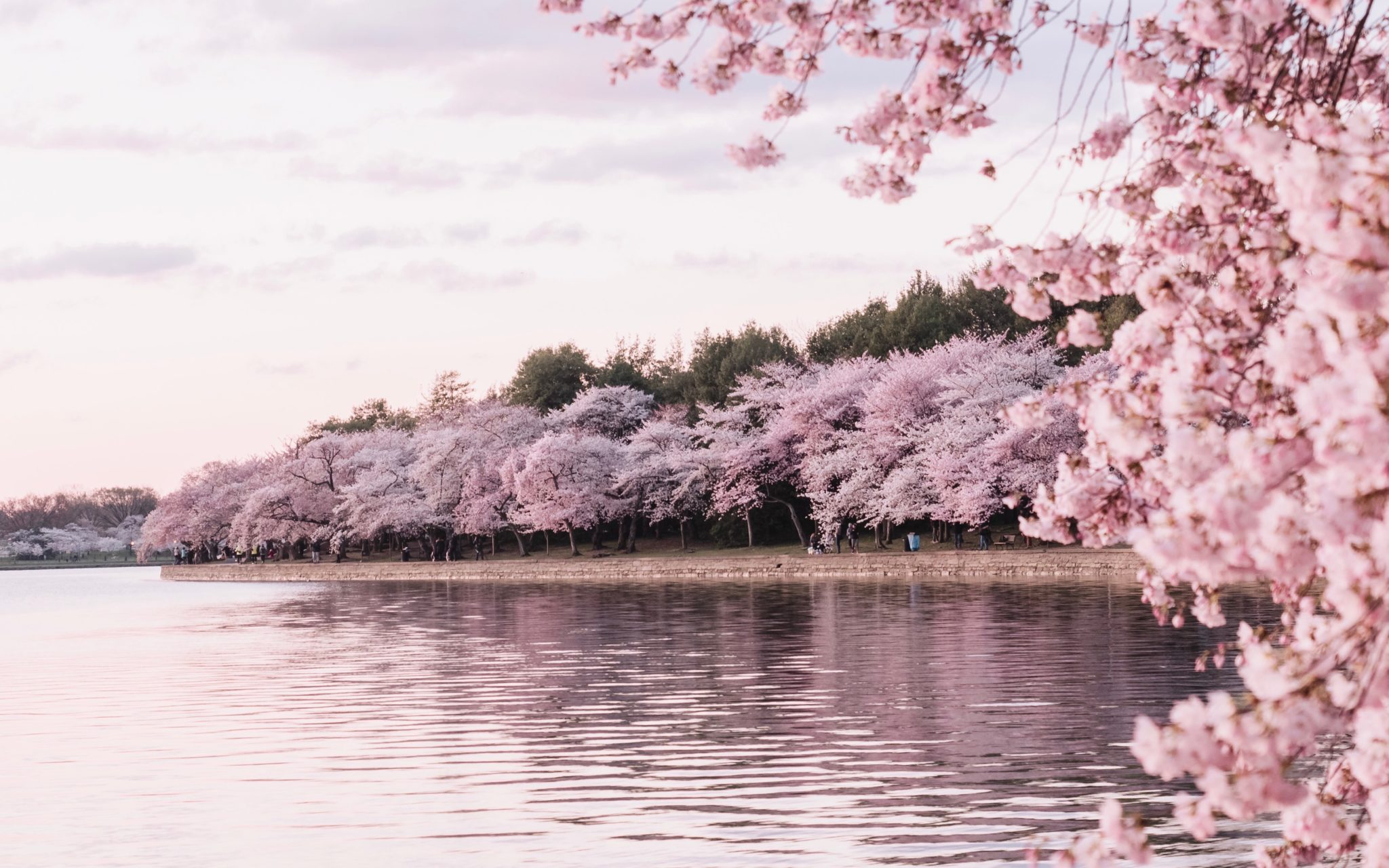 Cherry blossoms bordering a lake