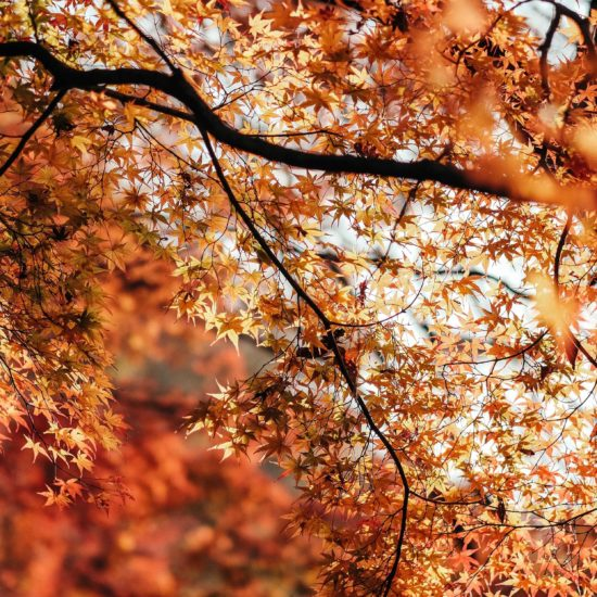 A shot of autumn leaves in a brilliant orange in Japan