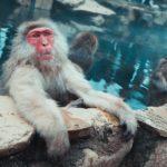 Snow monkey relaxing in onsen