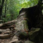 Tree stump on Yakushima