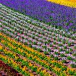 Flower fields in Furano